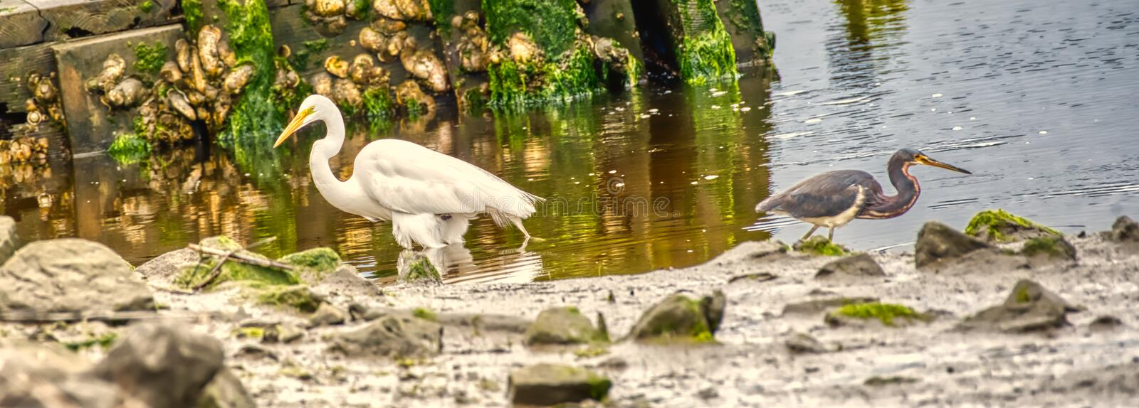 A closeup of a white egret and a little blue heron. stock photos