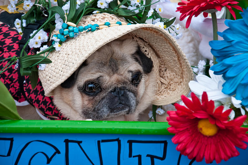Closeup of Pug in Pug Parade