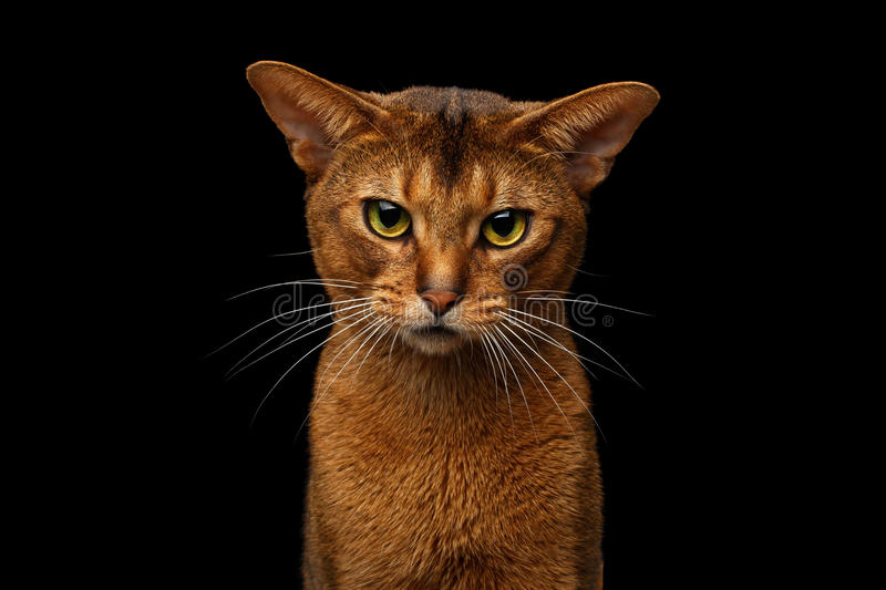 Closeup Purebred abyssinian cat portrait isolated on black background stock photo
