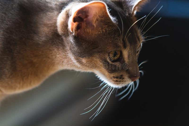 Closeup of Purebred Blue Abyssinian royalty free stock images
