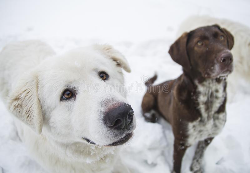 Closeup purebred dogs obediently sit on the snow royalty free stock images