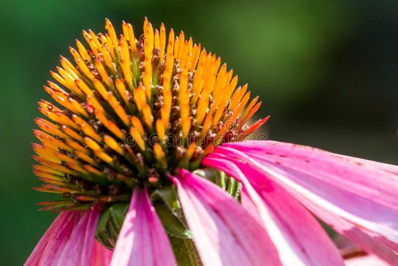 Closeup of a purple coneflower stock photography