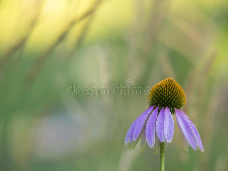 Closeup of a purple coneflower on a colorful background royalty free stock photos