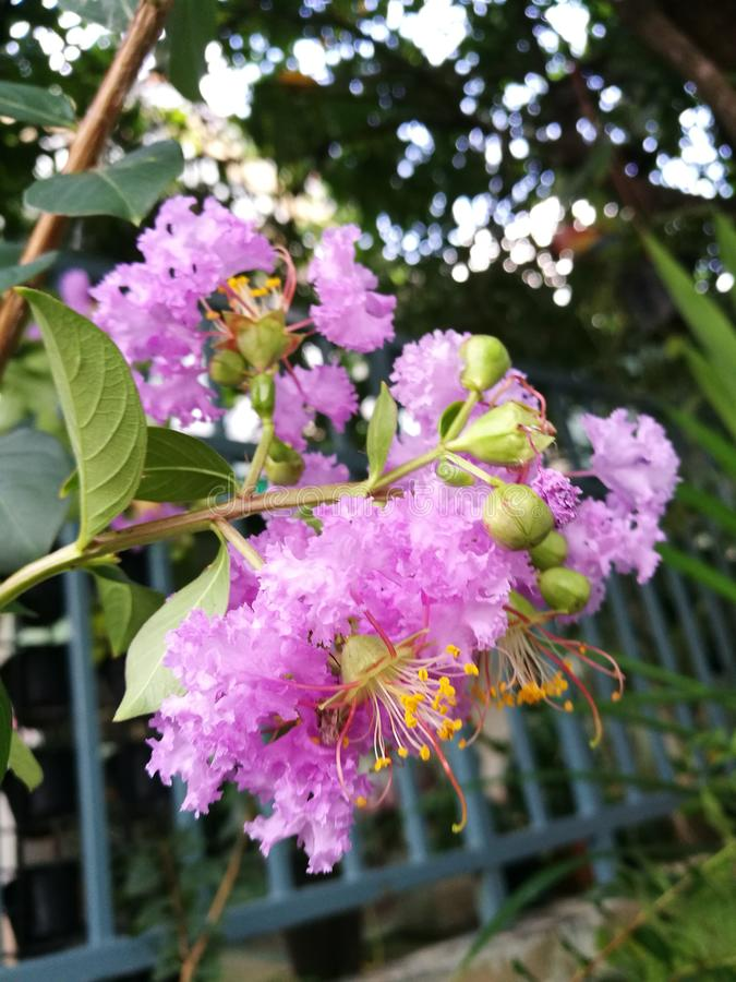 Crepe myrtle flowers. Closeup of purple crepe myrtle flowers blooming over the fence in garden stock photography