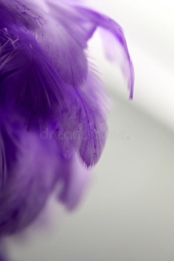 Closeup purple feather ,Multicolored feathers ,background texture, abstract royalty free stock images