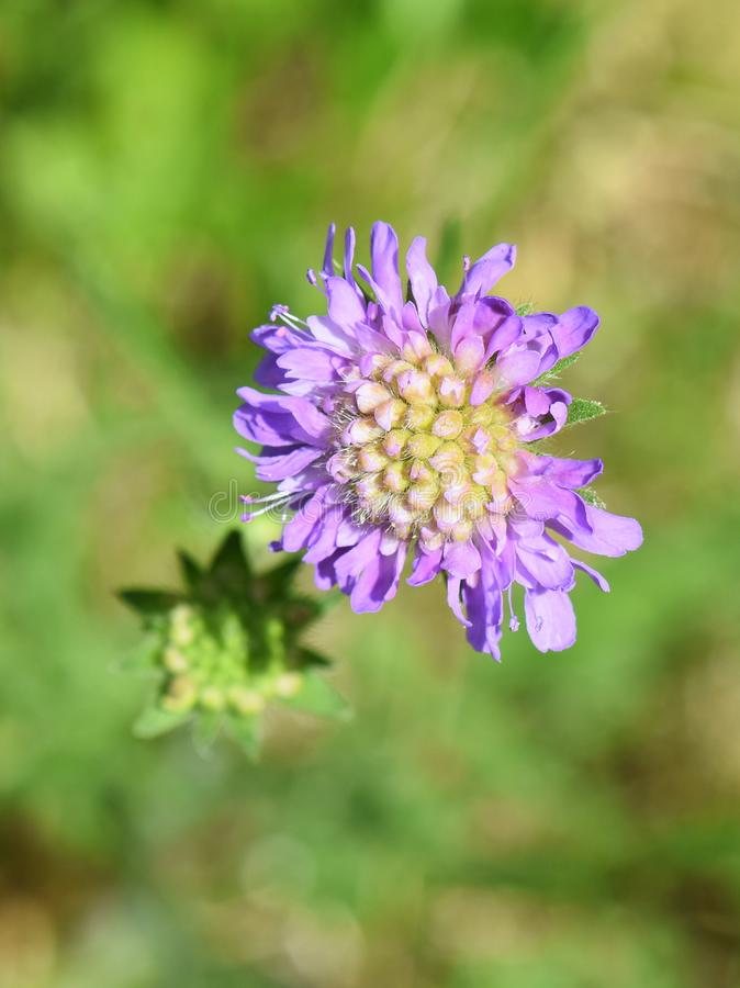 Field scabious Knautia arvensis purple flower stock photo