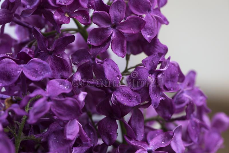 Closeup of purple flower of lilac in the spring in a beautiful natural light with droplets after rain stock image