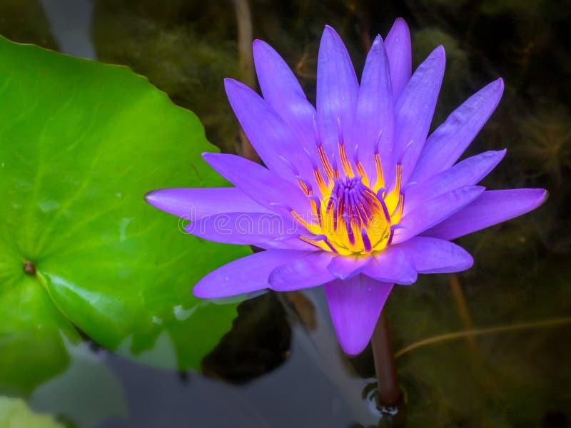 Closeup purple lotus in the pool 001 stock photography