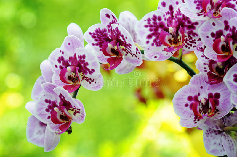 Download Closeup of purple orchid stock photo. Image of flower - 31209084