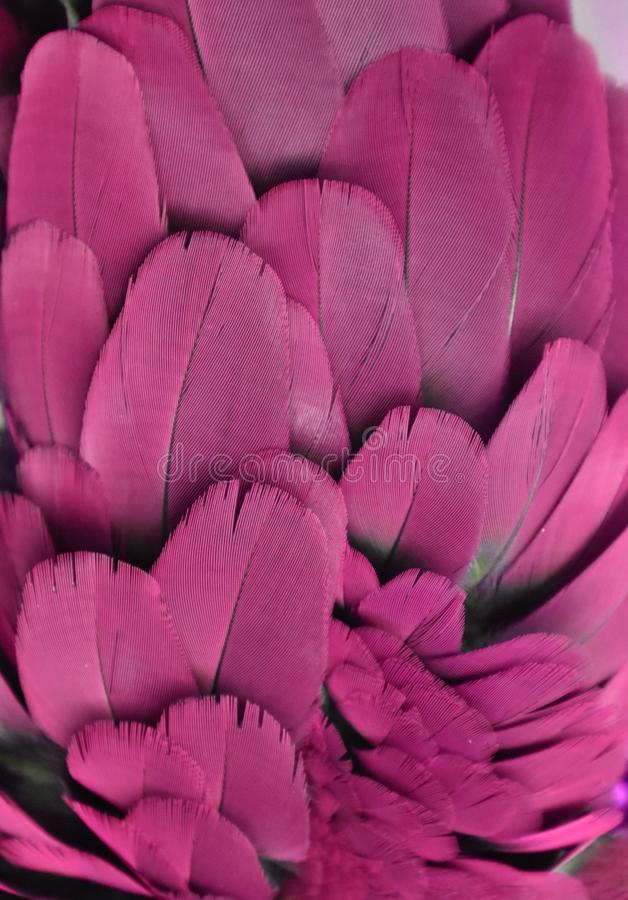 Purple Feathers of a Macaw Parrot stock image