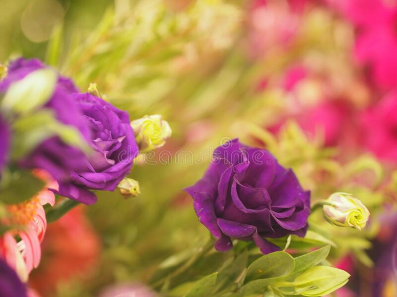 Violet rose flower Beautiful bouquet on blurred of nature background symbol love Valentine Day. Closeup purple violet rose flower Beautiful bouquet on blurred of stock image