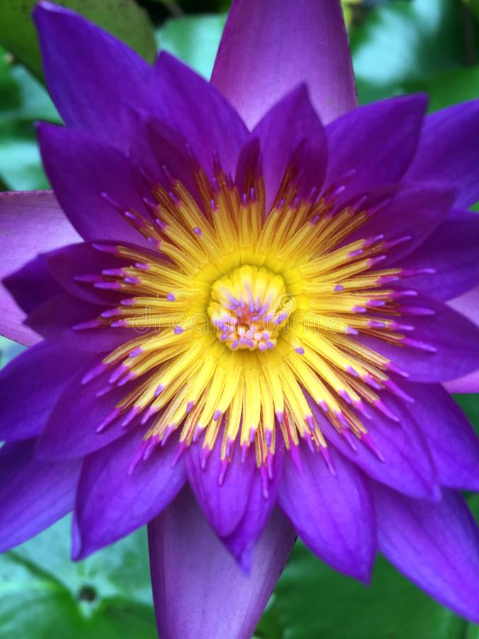 Closeup of Purple water lily stock photo