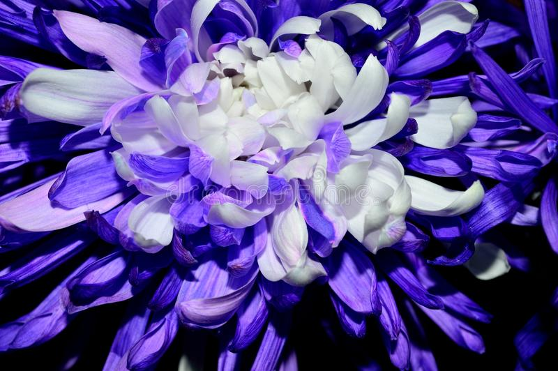 Download Closeup Purple With White Centered Dahlia Stock Image - Image of daisy, purple: 107630705