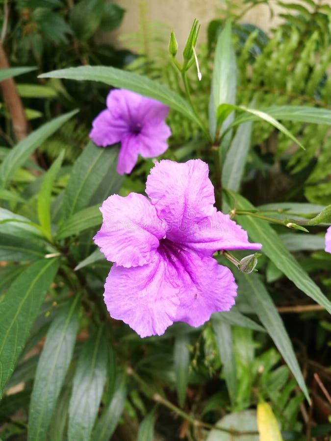 Purple wild petunia flower stock photos