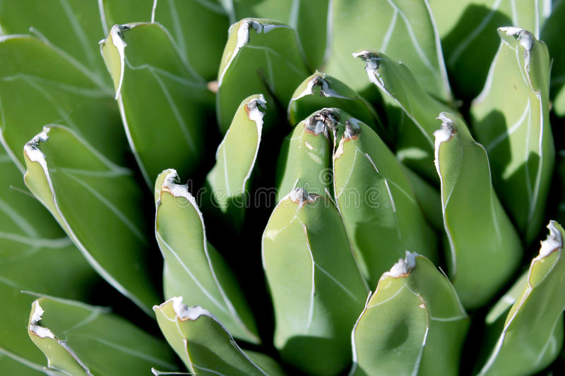 Closeup of Queen Victoria Agave Plant stock images