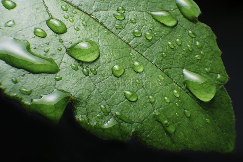 Closeup of rain drop on leafs stock image