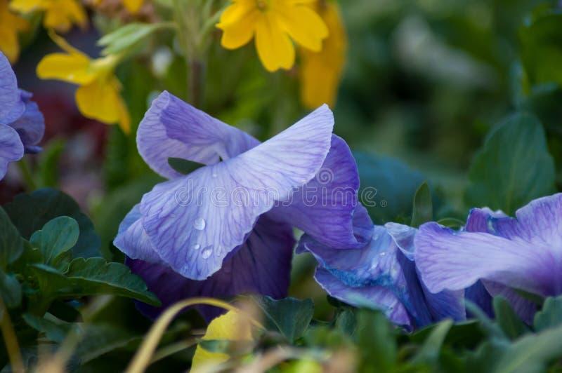 Rain drops on colorful viola in public garden. Closeup of rain drops on colorful viola in public garden royalty free stock image