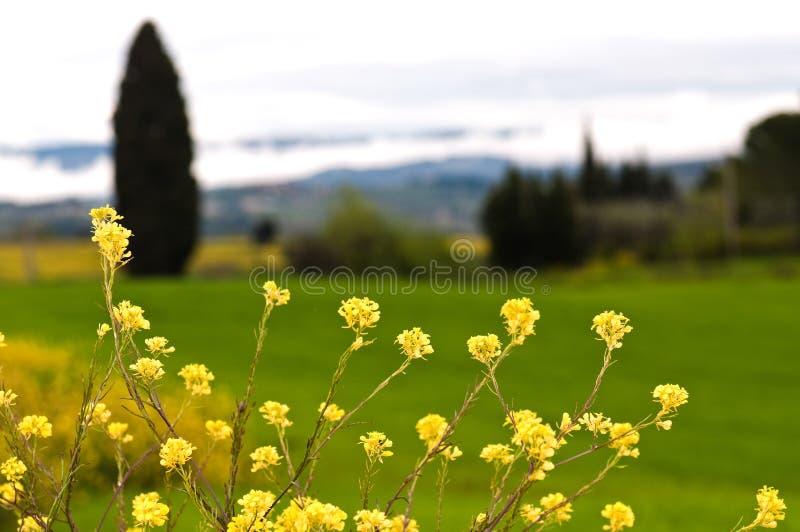 Closeup of rapeseed flowers stock photos