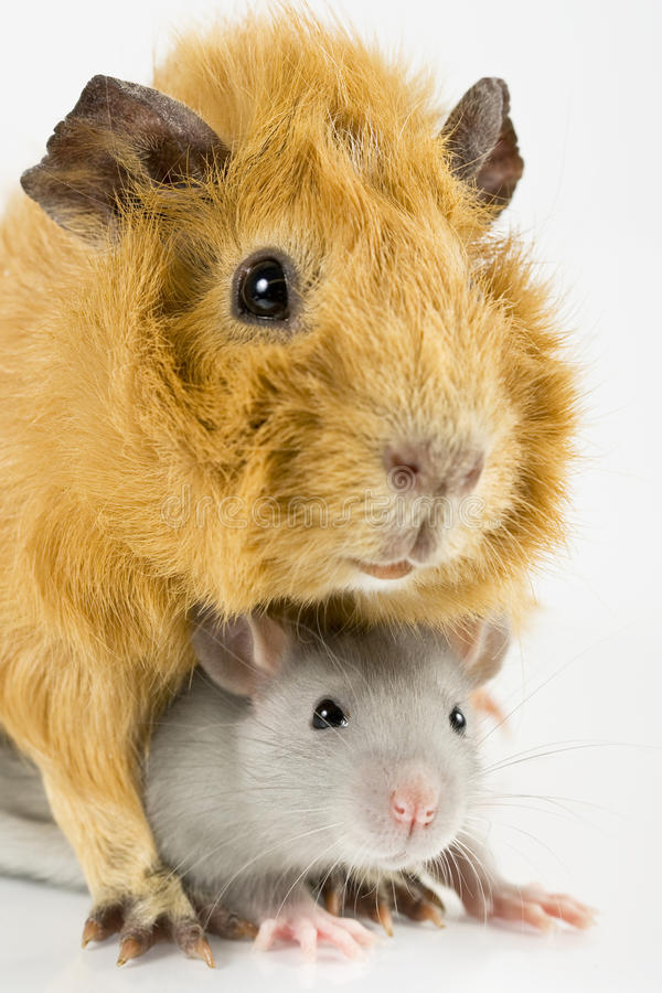 Free Closeup Rat And Guinea Pig Playing Royalty Free Stock Photography - 13554527