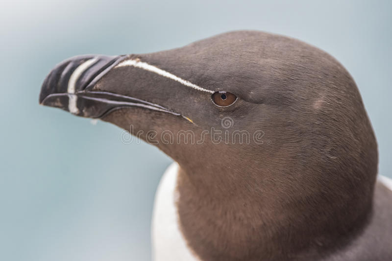 Closeup of a razorbill on the Latrabjarg cliffs, Western Fjords, Iceland. Closeup of a razorbill on the Latrabjarg cliffs, a promontory and the westernmost point royalty free stock images