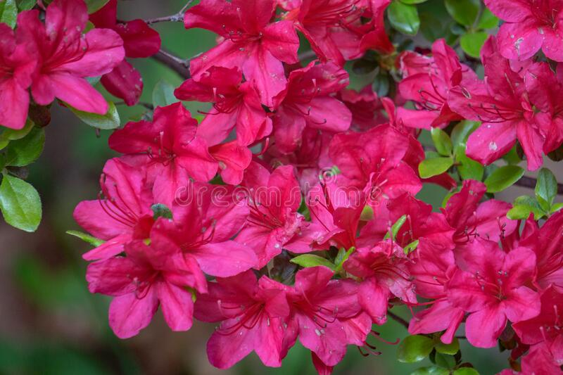 Closeup of Red Azalea wildflowers in the Mountains. Close up of a group of red azalea wildflowers located in the mountain park in the Appalachian Mountains of stock photos