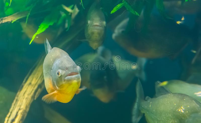 Closeup of a red bellied piranha with a school of piranhas in the background, tropical fish specie from the amazon basin of royalty free stock images