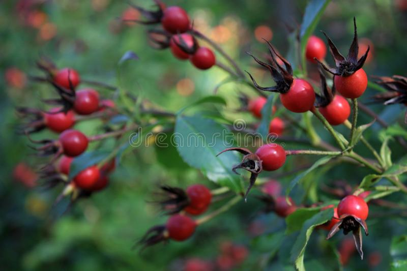 Green branches and red berries stock images