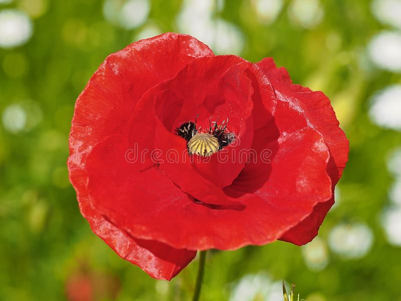 Closeup of a red blooming poppy flower royalty free stock photo
