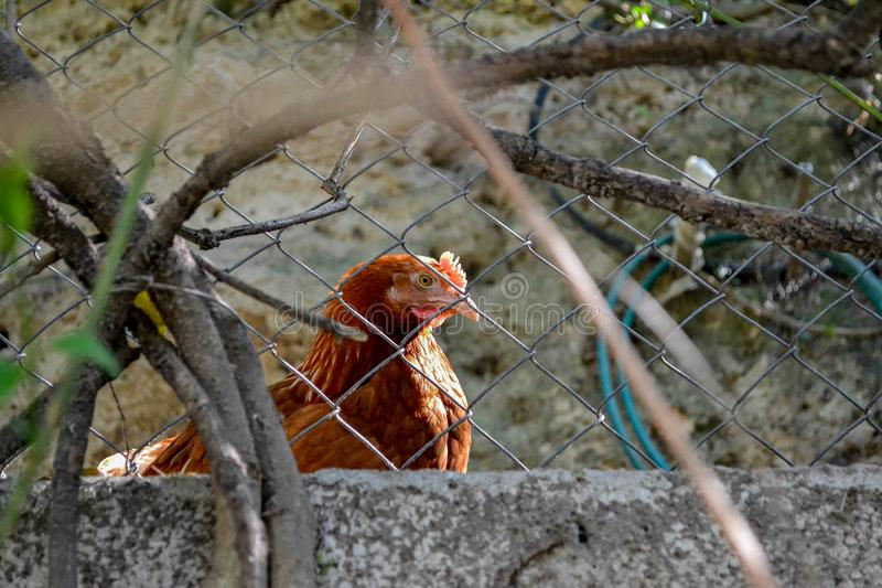 Hen behind the fence on the farm yard. Close up. royalty free stock images