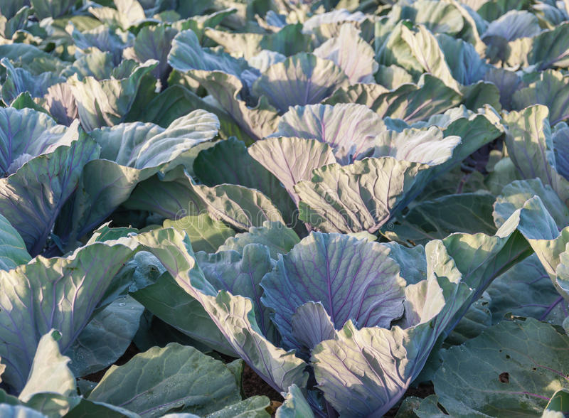 Closeup Of Red Cabbage Plants In The Field Stock Photography