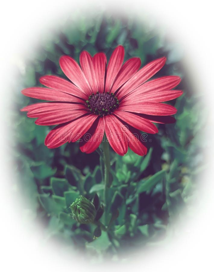 Closeup of a red cape marguerite flower royalty free stock photo