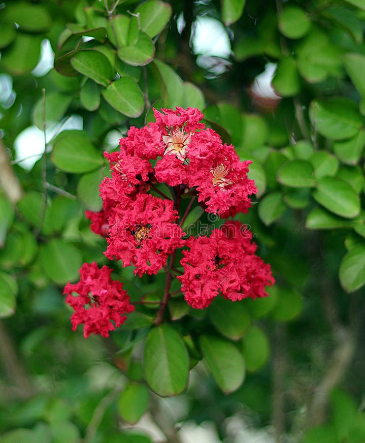Closeup red crape myrtle flowers royalty free stock photography