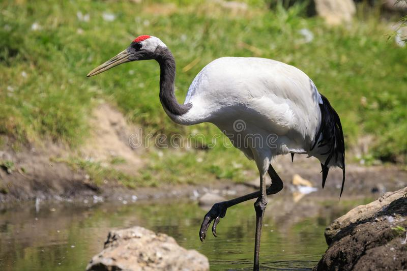 Closeup of a red-crowned crane Grus japonensis, also called th. Closeup of a red-crowned crane Grus japonensis alias Manchurian crane or Japanese crane bird royalty free stock photography