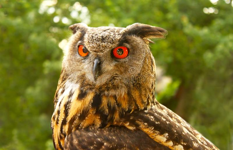 Closeup of Red eyed great horned owl Staring straight ahead stock images