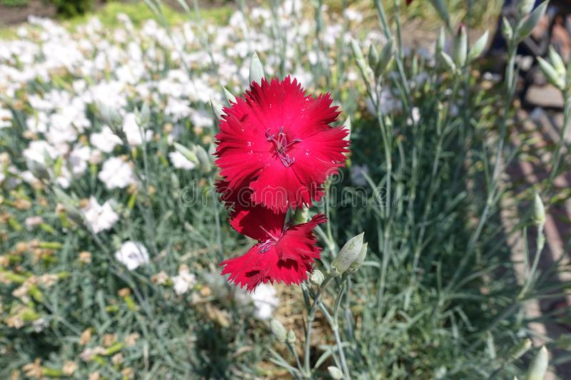 Closeup of red flower of Dianthus. Close up of red flower of Dianthus stock photo