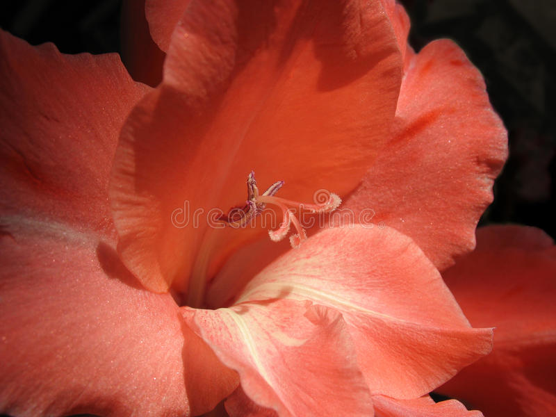 Closeup of red gladiolus royalty free stock image
