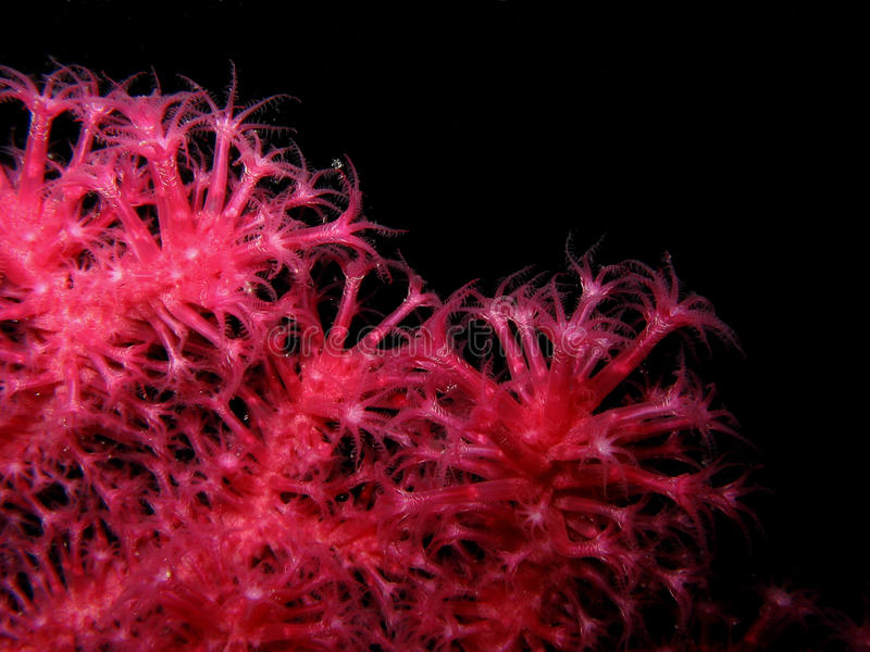 Closeup of red gorgonian Paramuricea clavata. Details of polyps isolated on black royalty free stock images