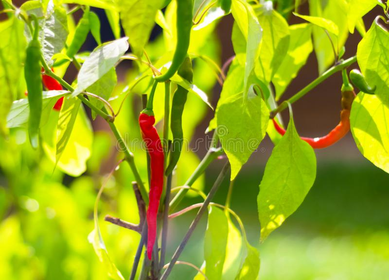 Closeup red green hot pepper on the Bush in the garden stock image