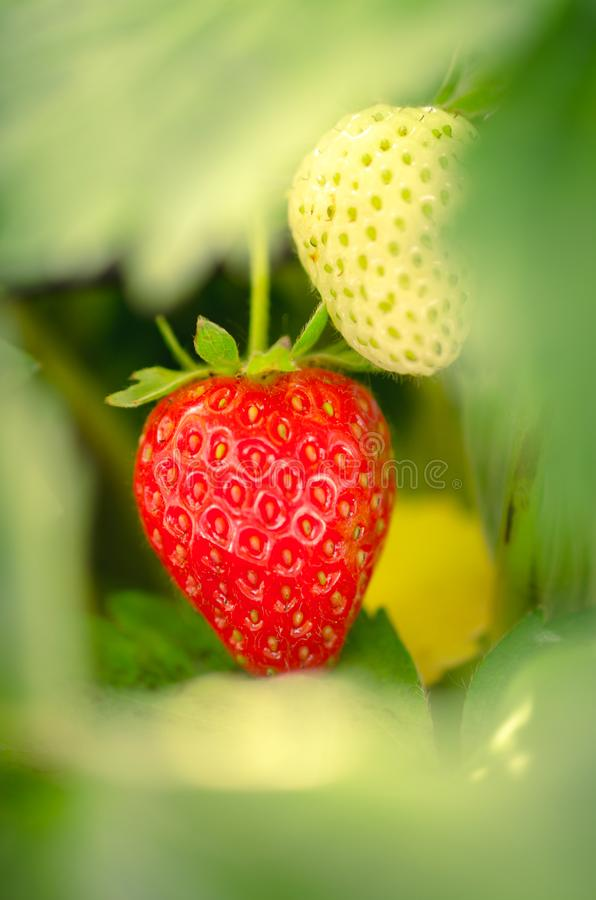Closeup red and green strawberry with blurry background. Closeup shot of growing strawberry with blurry bokeh background royalty free stock photo