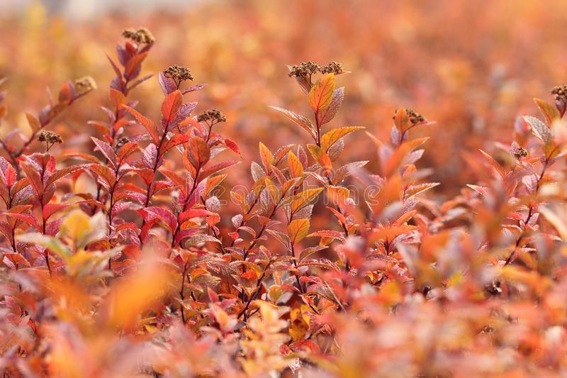 Red leaves in autumn. Closeup of Red leaves in autumn in the morning sunlight royalty free stock photography