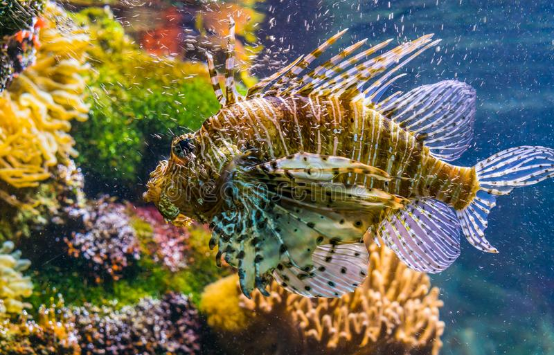 Closeup of a red lion fish in closeup, big tropical fish specie from the indo-pacific ocean. A closeup of a red lion fish in closeup, big tropical fish specie stock photo