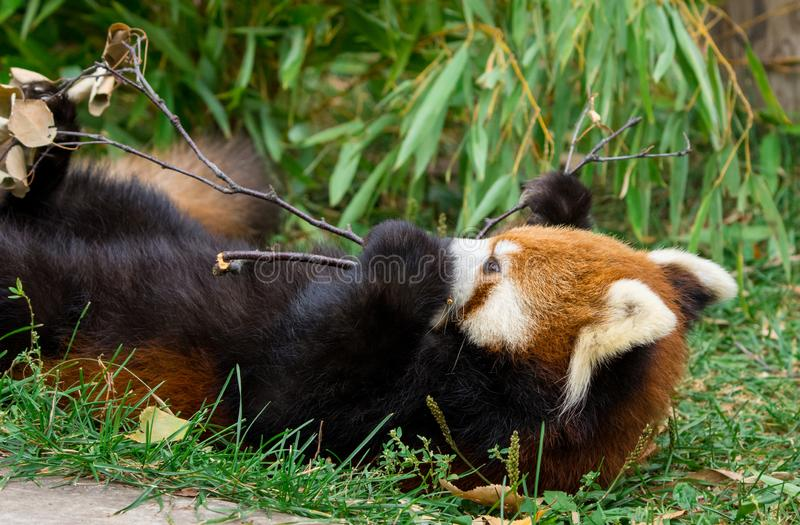 Red Panda or Lesser panda (Ailurus fulgens) gnawing a tree branch. Closeup Red Panda or Lesser panda (Ailurus fulgens) gnawing a tree branch royalty free stock image