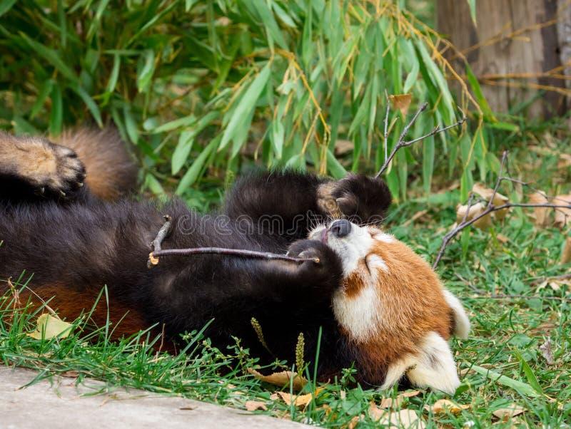 Red Panda or Lesser panda (Ailurus fulgens) gnawing a tree branch. Closeup Red Panda or Lesser panda (Ailurus fulgens) gnawing a tree branch stock images