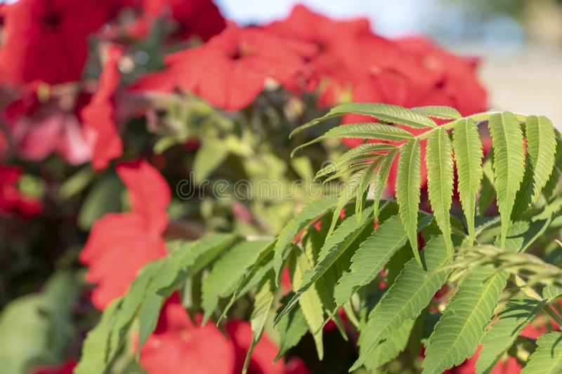 Closeup of Red Petunia Flowers with green leaves stock photography
