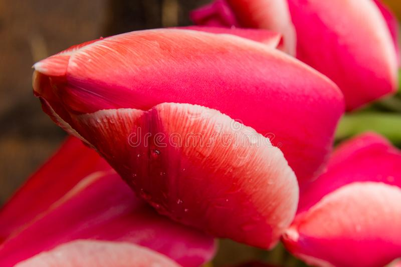 Closeup red and pink tulips on the green background royalty free stock photography