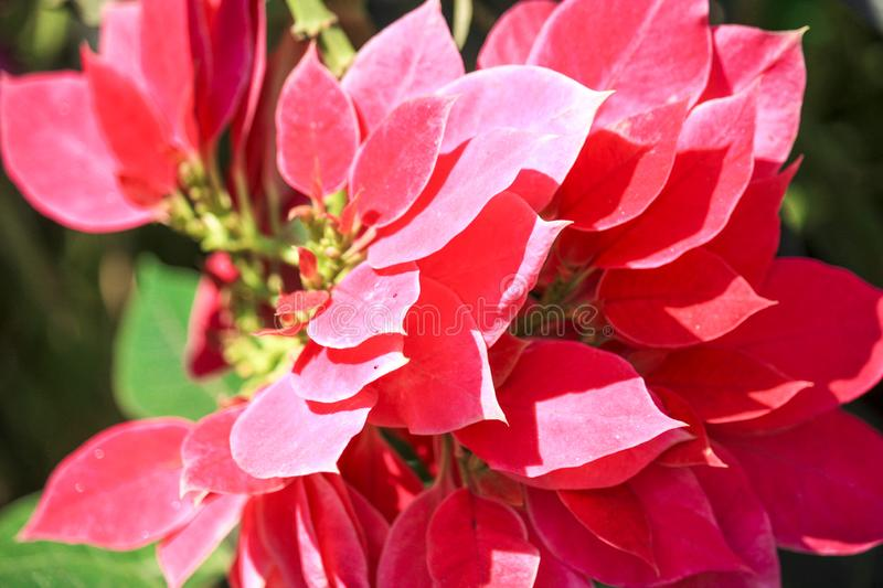 Closeup of Red Poinsettia, Christmas Star Flower stock image
