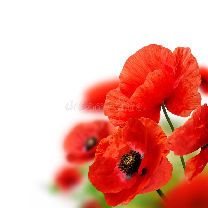 Red poppy flowers on white. Close up of red poppy flowers isolated on white with copy space stock images