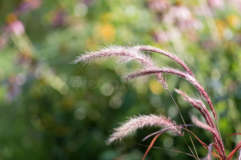 Closeup of red prairie grass in summer. Red ornamental prairie grass plant blowing in wind in summer with bokeh stock image