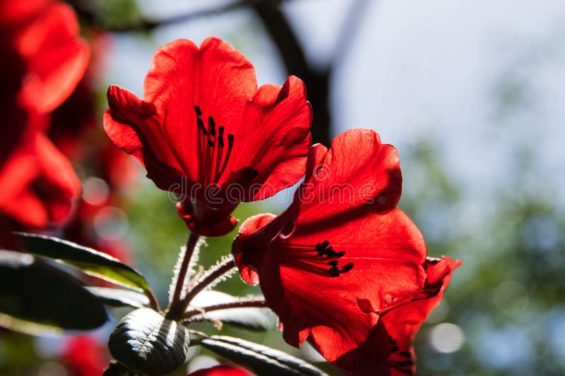 Closeup of red rhododendron blossom in butchart gardens stock photo
