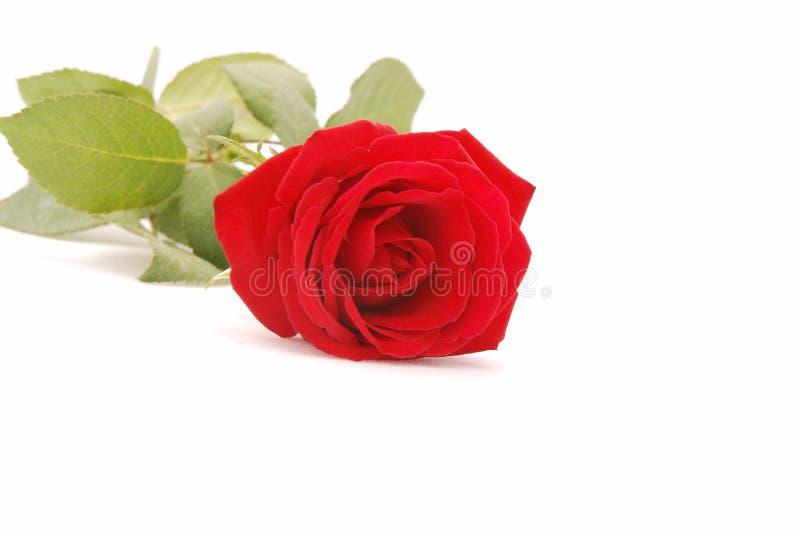 closeup red rose стоковые изображения
